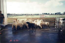 Rainbow Farm Sheep shearing3