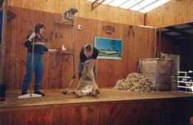 Rainbow Farm Sheep shearing6