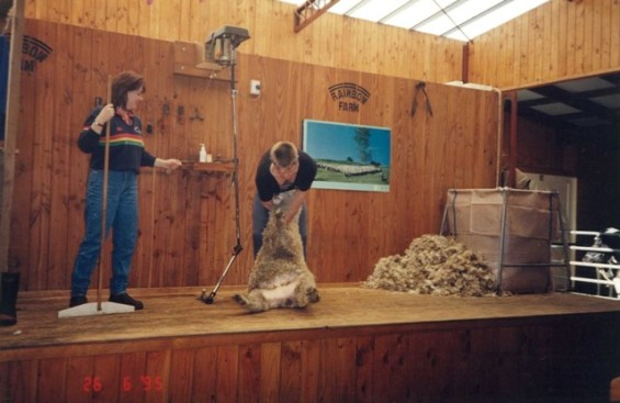 Rainbow Farm Sheep shearing6