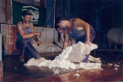 Woolshed - shearing4
