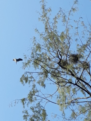 Japanese Garden - Heron nests4
