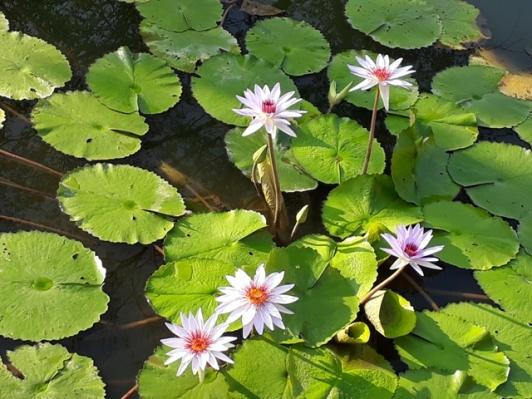 Japanese Garden - pond view3