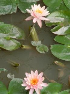 Resort Lotus Flowers14