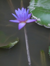Resort Lotus Flowers2