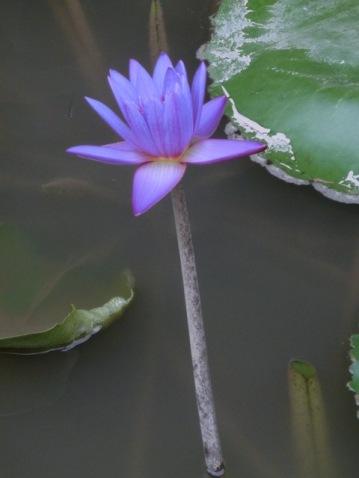 Resort Lotus Flowers2