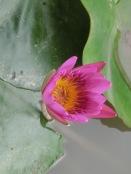 Resort Lotus Flowers29