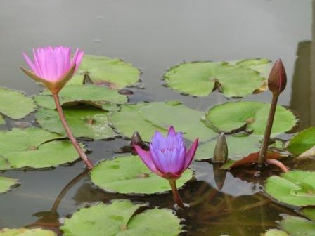 Resort Lotus Flowers5
