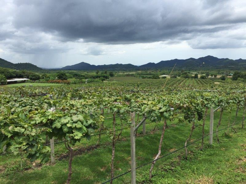 Monsoon Valley vineyard 8
