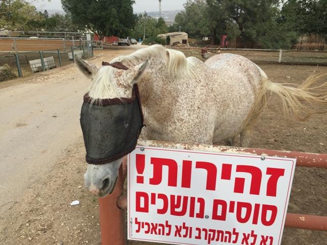 Kibbutz horse
