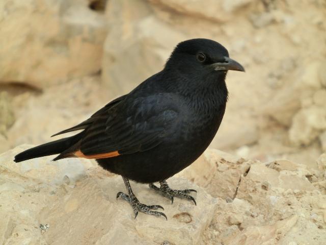 Tristram starling14